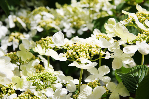 Spring Viburnum