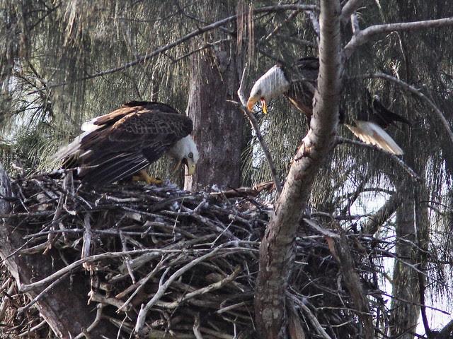 Bald Eagle screaming match 20140205