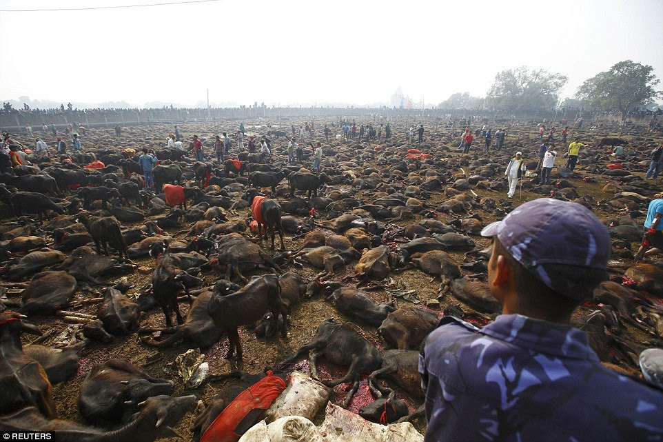 Good start: On the first day, worshippers slaughtered more than 6,000 buffaloes, which were coralled into holding pens in the fields,