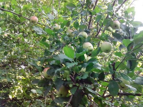 Cogli la prima la mela, qui! by Ylbert Durishti