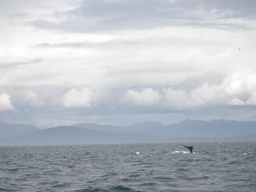 whale splash before a deep dive