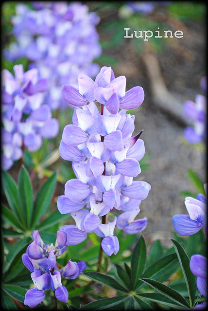 Lupine along the Timberline Trail / PCT headed to Paradise Park