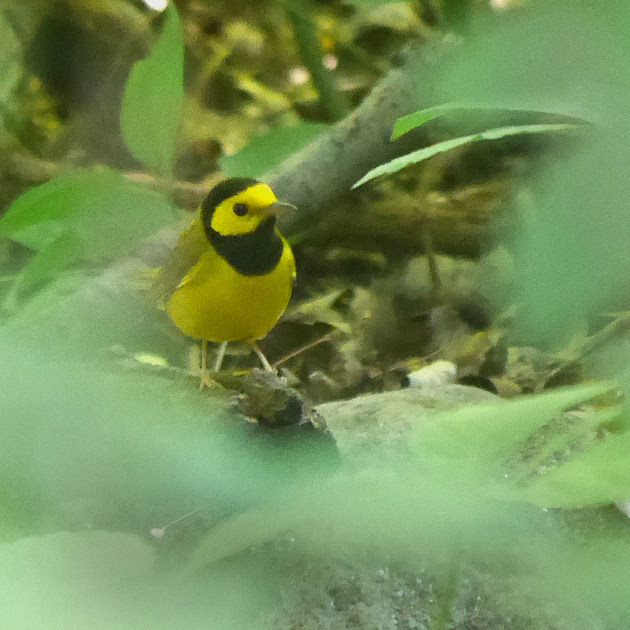 Ed Gaillard: birds &emdash; Hooded Warbler, Tanner's Spring
