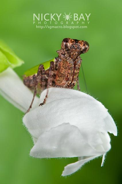 Pachymantis bicingulata - DSC_1595