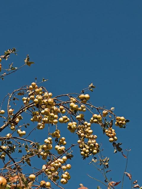 Yellow Apples