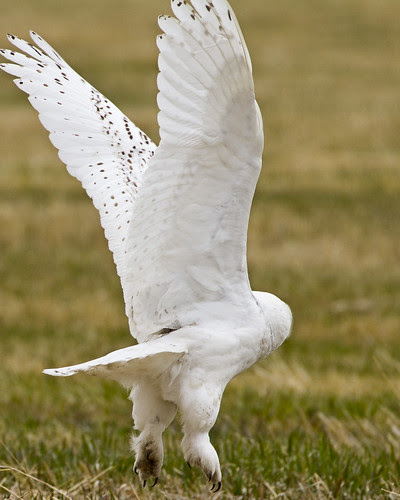 Snowy Owl Launching