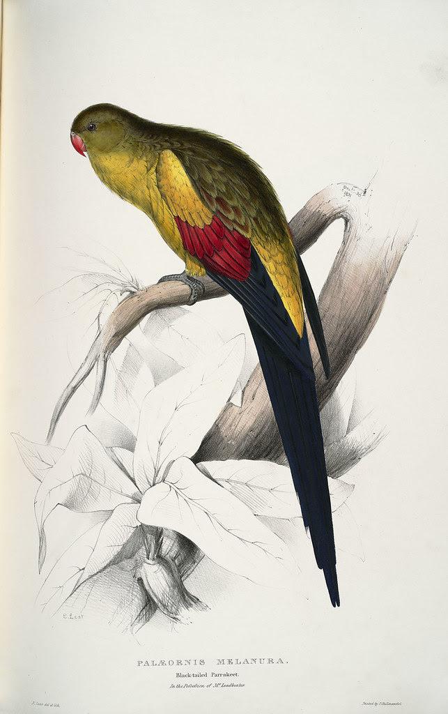 Palæornis melanura. Black-tailed parrakeet