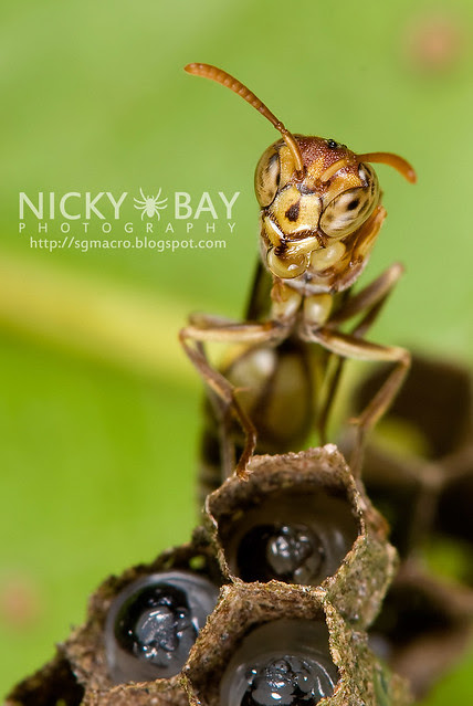Wasp (Apocrita) - DSC_3086