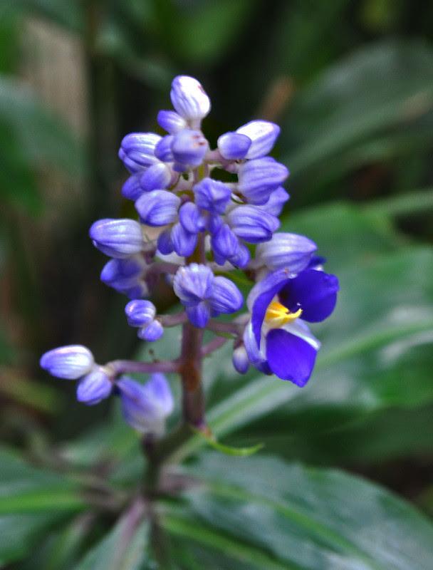 Dichorisandra thyrsiflora