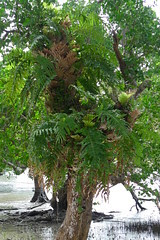 Tropical tree, Romblon, Philippines (The Three P Holiday & Dive Resort (Ducks) Romblon) Tags: fern tree island philippines insel tropical farn pilipinas philippinen philippine romblon tropisch baumfarn