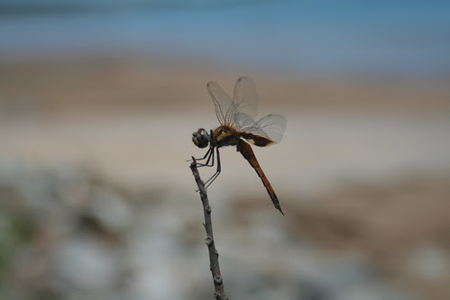 Dragonfly at Fannie Bay
