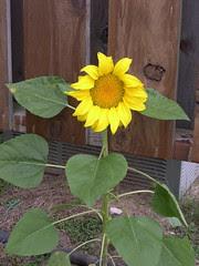 Sunflower Volunteer
