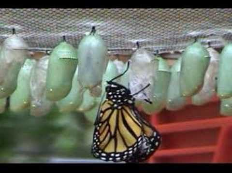 homeschool parent watch a butterfly as it is born plus a freebie. Black Bedroom Furniture Sets. Home Design Ideas