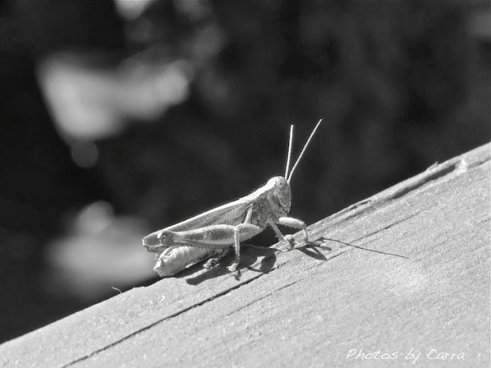 Monochrome Monday  grasshopper sn