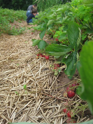 Strawberries by Eve Fox, Garden of Eating blog, copyright 2011