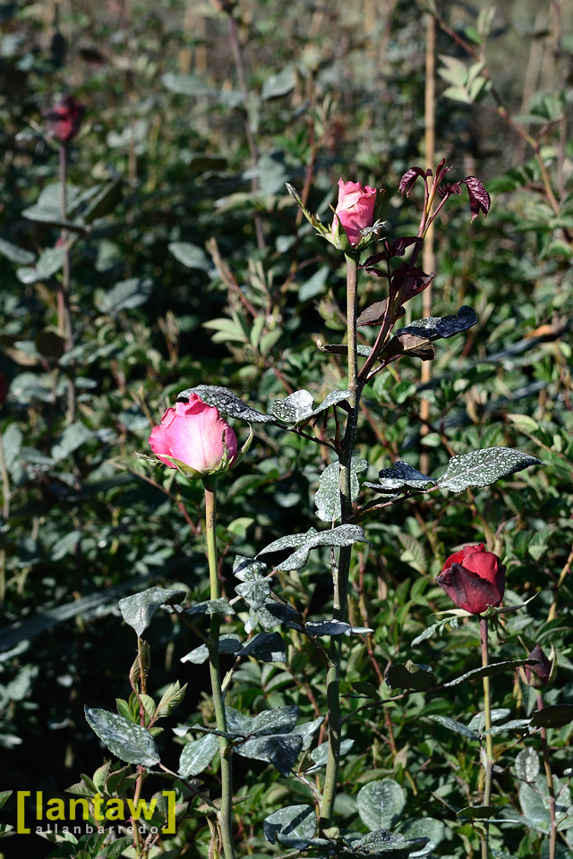 Bahong - Roses