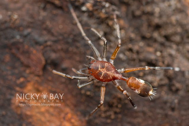 Ant-Like Sac Spider (Aetius sp.) - DSC_2212