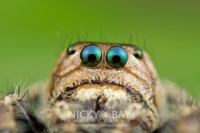 Jumping Spider (Salticidae) - DSC_8423