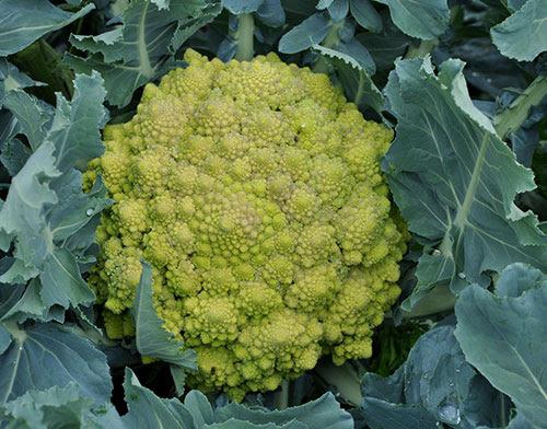 Couve-flor romanesca ou brócolis romanesco