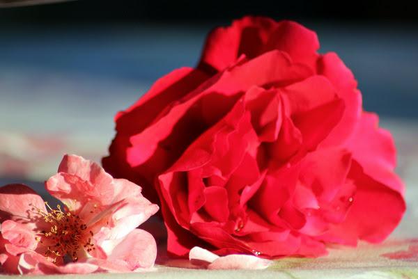 rose  dopo la pioggia
