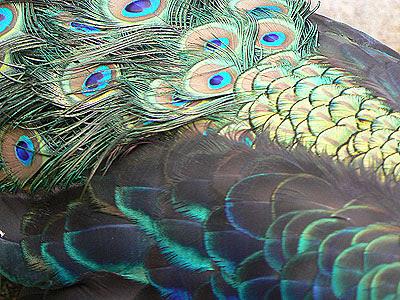 plumes de paon.jpg