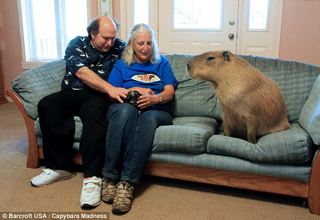Image result for capybara pet