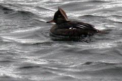 ducks 093