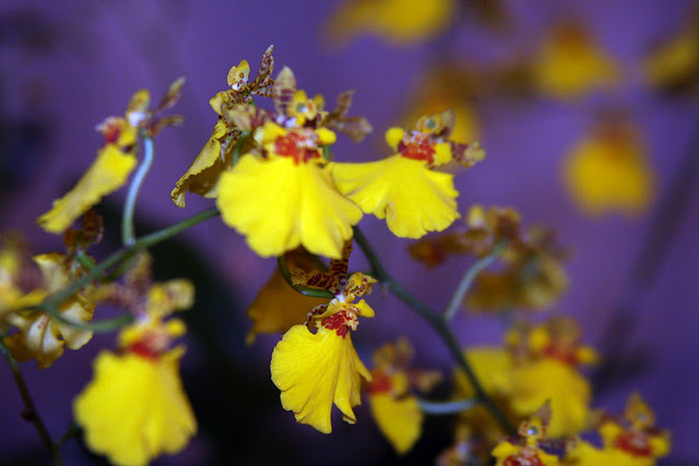 Orquídea Oncidesa Gower Ramsey