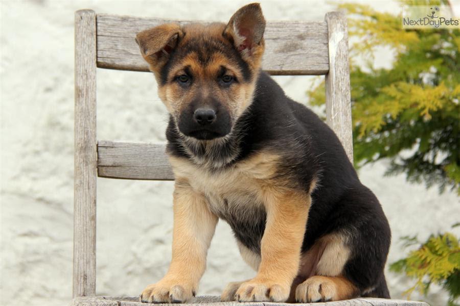 Buy German Shepherd Puppy For Sale Near Me In Singapore