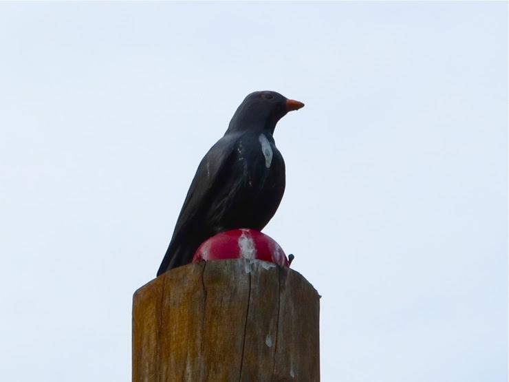 A mocked bird