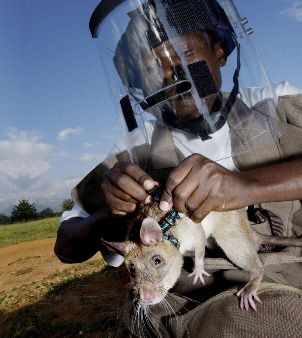 Ratazanas estão salvando um monte de vidas da maneira mais surpreendente 03