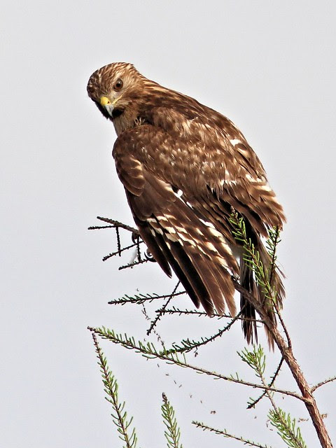 Red-shouldered Hawk immature 2-20130416