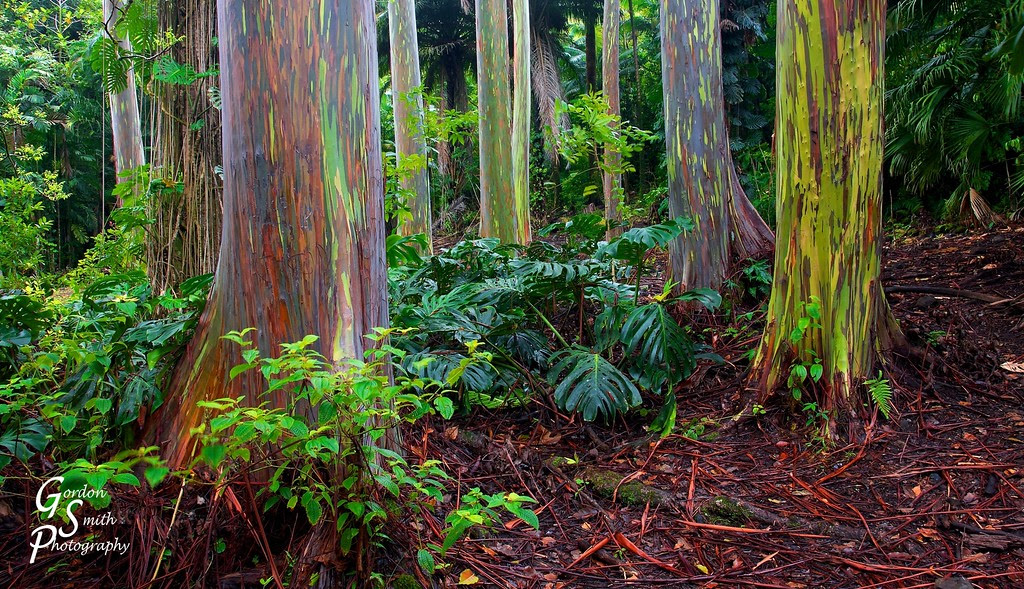 Maui jungle forest of rainbow eucalyptus trees