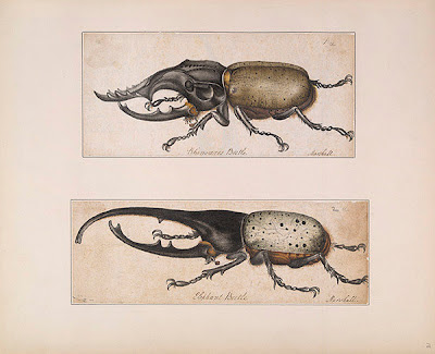 Rhinoceros and Elephant Beetles