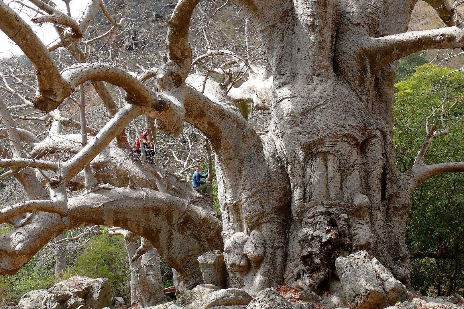 2012.02.22, I LOVE this tree! It is a variety of baobab which originate in Africa. (Salalah, Oman)
