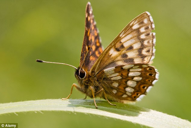 During the last 10 years the numbers of the threatened Duke of Burgundy (pictured) have increased by 67 per cent and the Pearl-bordered Fritillary has experienced a 45 per cent rise in abundance
