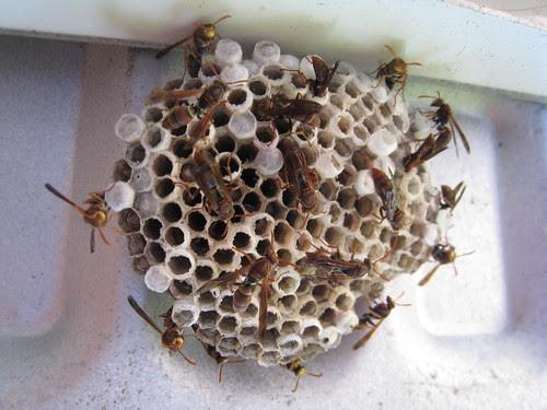 natural wasp spray killer