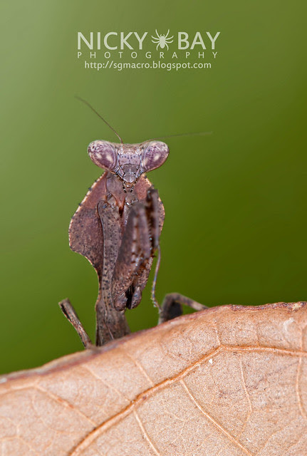 Dead Leaf Mantis? (Deroplatys sp.?) - DSC_2338