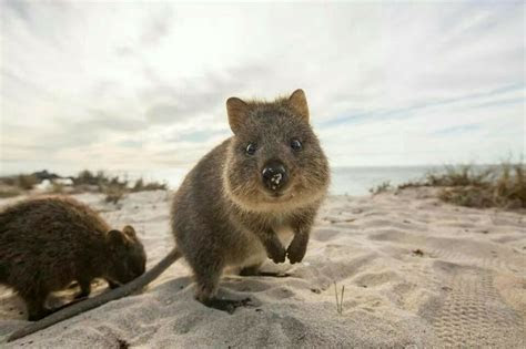 Cute Quoka!!!!   Animals   Pinterest