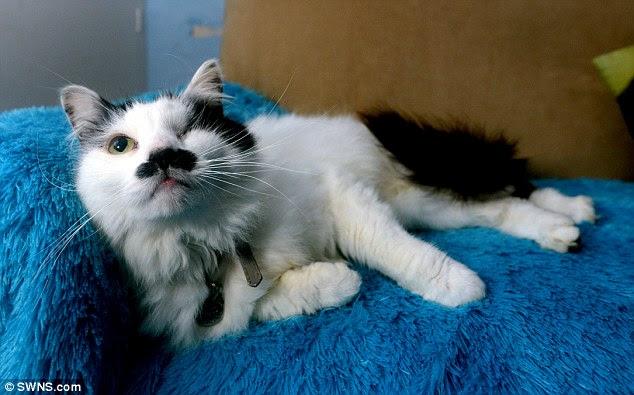 Baz, un gatto di sette anni, aggredito e lasciato per morto dai teppisti 'perché sembra come Hitler' ha recuperato nonostante la perdita di un occhio