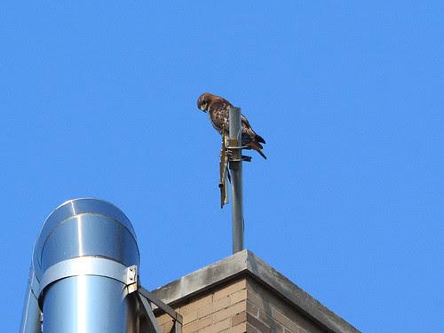 Hawk on Hospital