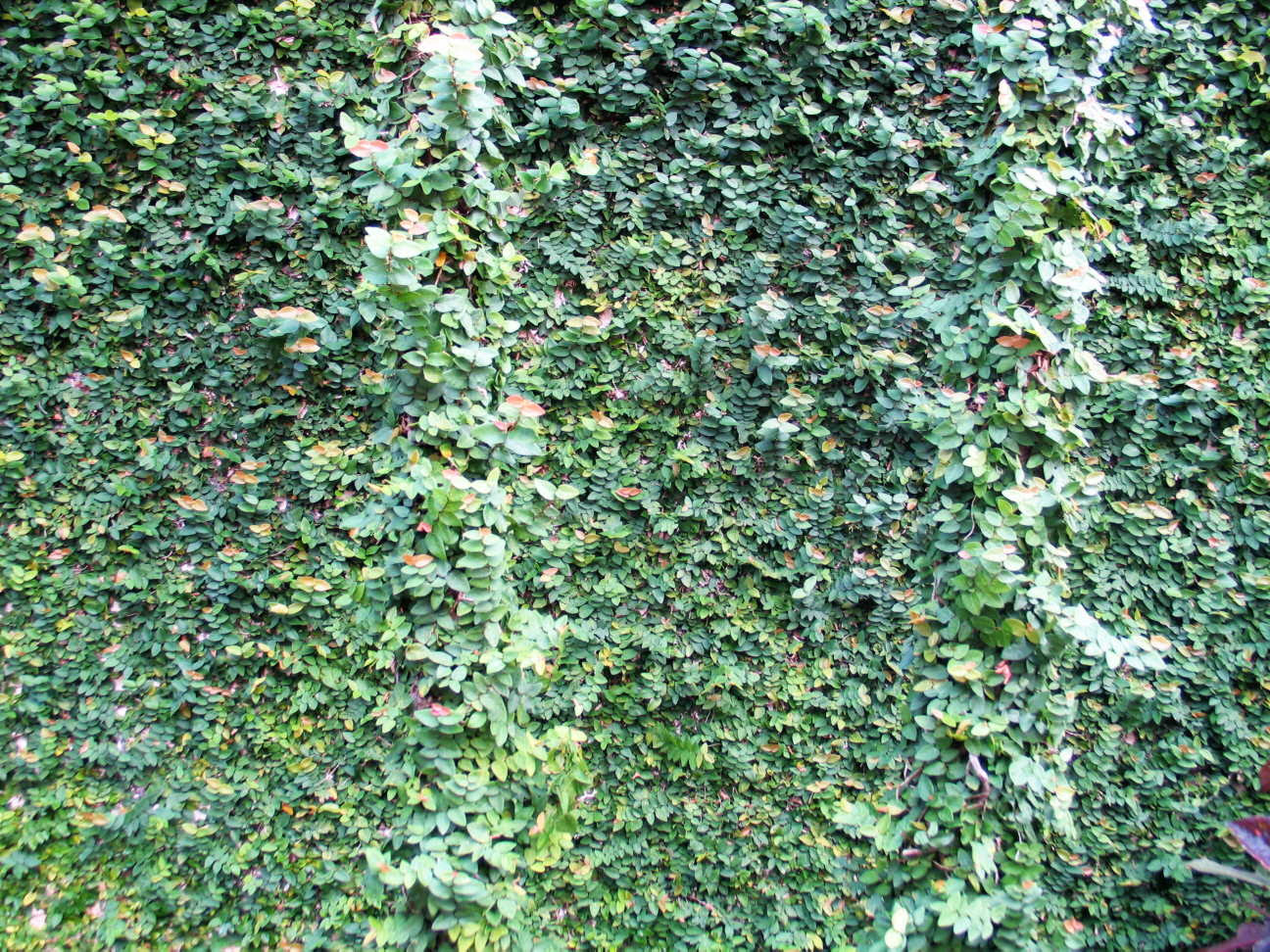Wall of vines