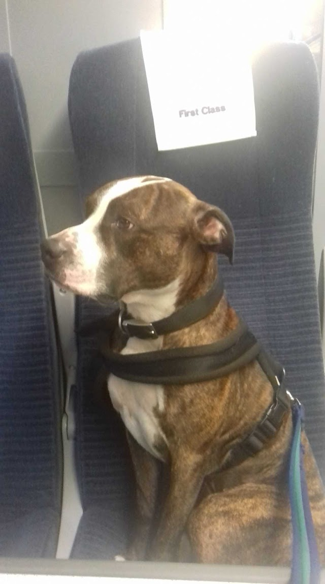 Rocky – 4 year old male Staffordshire Bull Terrier