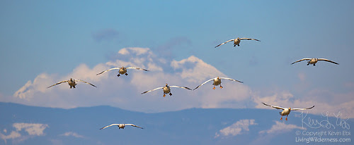 Snow Geese and Mount Baker, Skagit Valley, Washington