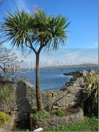 photo Ireland-Palm-Tree_thumb_zpswb7e8jqr.jpg