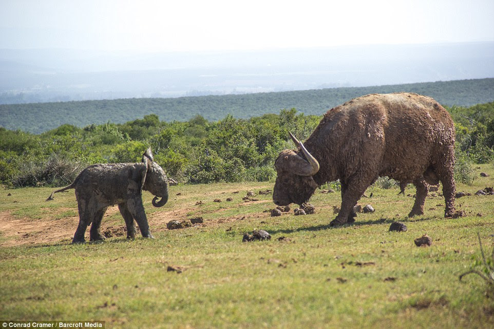 Standoff:The small calf was among a herd of elephants refreshing themselves at the Spekboom lagoon in Addo Elephant National Park, South Africa when the buffalo walked towards the water to join them