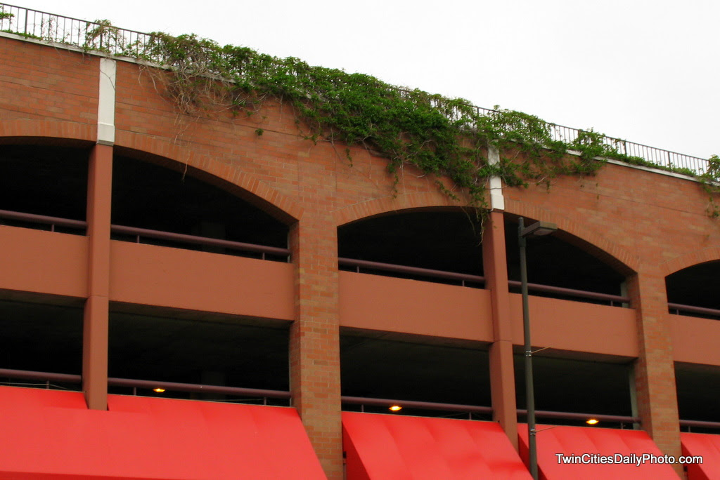 it was an unusual site to see this ivy plant growing on the top level of this parking garage in the heart of downtown Minneapolis. In reality, the spring growing season at the time time of this photo was about four weeks.