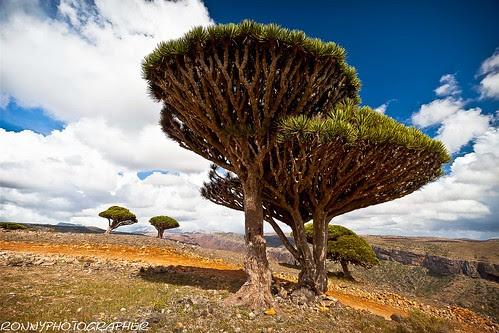 of dragon's blood trees-socotra island-yemen by ronnyreportage