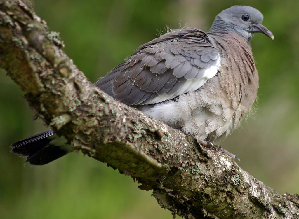 Dove on a limb