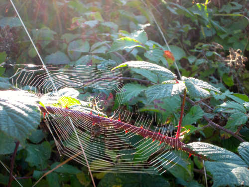 spiderwebinbrambles.jpg